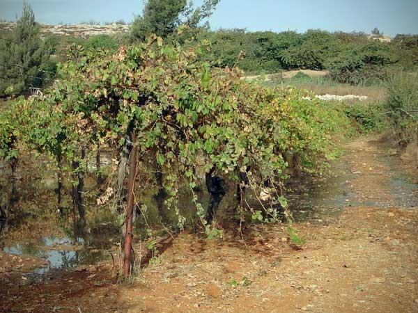 24bu_grapes.jpg